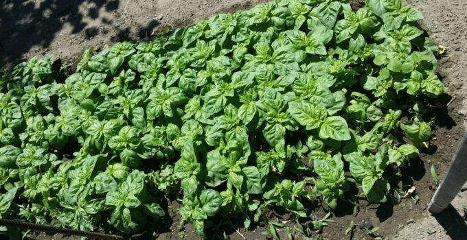 come coltivare basilico