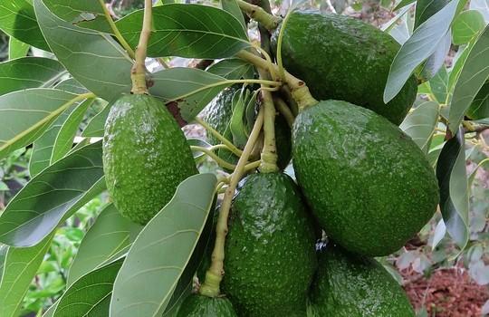 Come coltivare la pianta di avocado