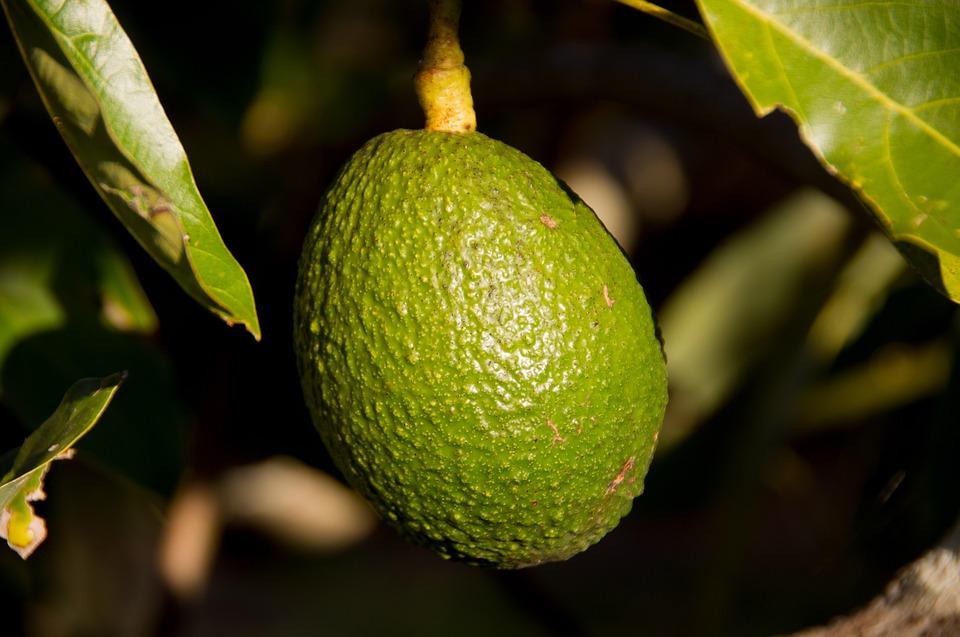 Come coltivare l'avocado