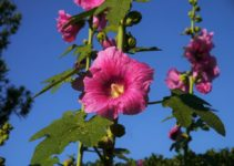 Althaea officinalis coltivare