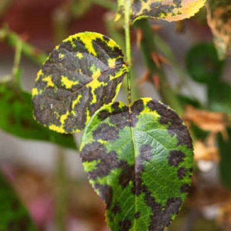Ruggine delle piante i rimedi contro la ruggine delle piante for Ruggine delle rose