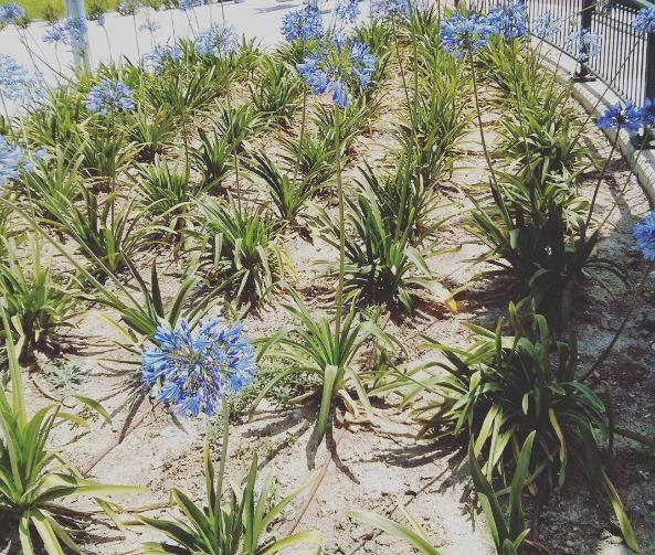 agapanthus pianta - come coltivare