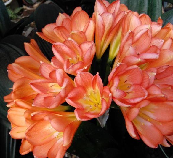 clivia fioritura