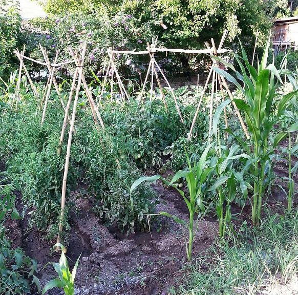 semina granoturco