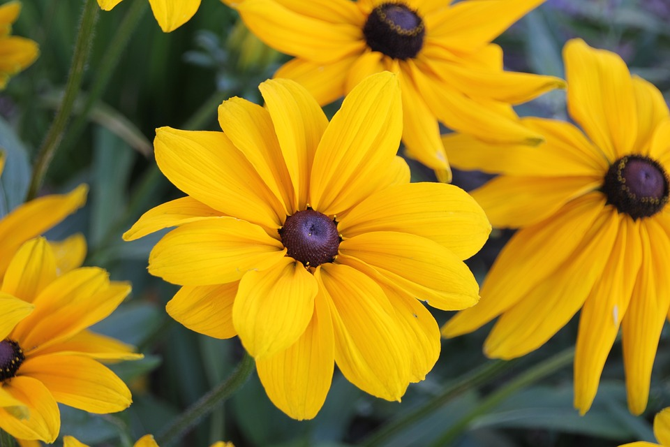 Charming Margherite Gialle Rudbeckia