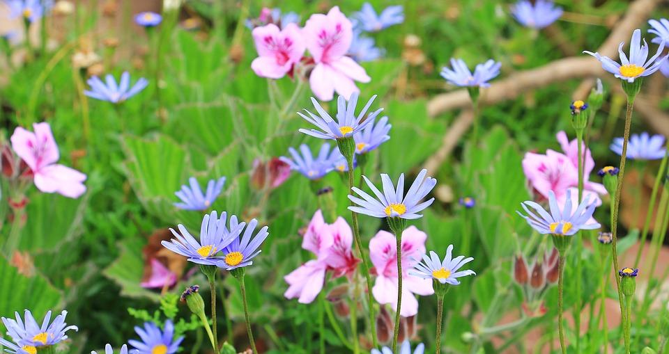 margherite azzurre - Felicia amelloides