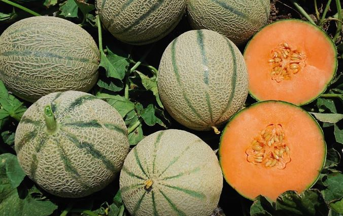 pianta di melone