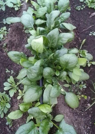 coltivare spinaci
