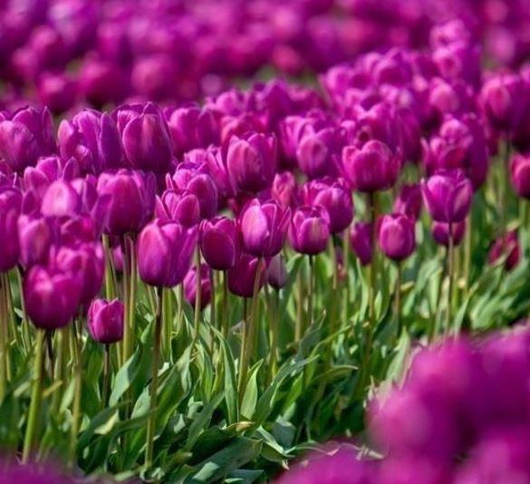 tulipano olanda