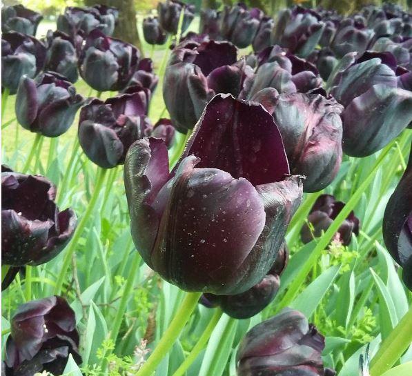 tulipano amsterdam