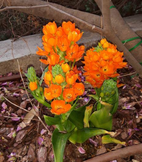 Pianta Fiori Arancioni.Coltivare Ornitogallo O Cresta Di Gallo Guida Per Principianti