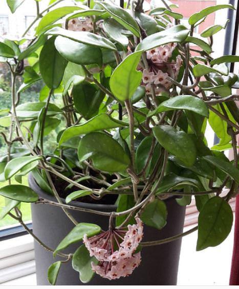 Coltivare Hoya Carnosa Guida Per Principianti
