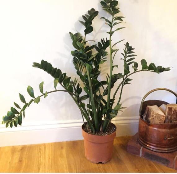 Piante Verdi Da Appartamento Zamioculcas.Coltivare Zamioculcas Pianta Di Padre Pio Guida Per Principianti