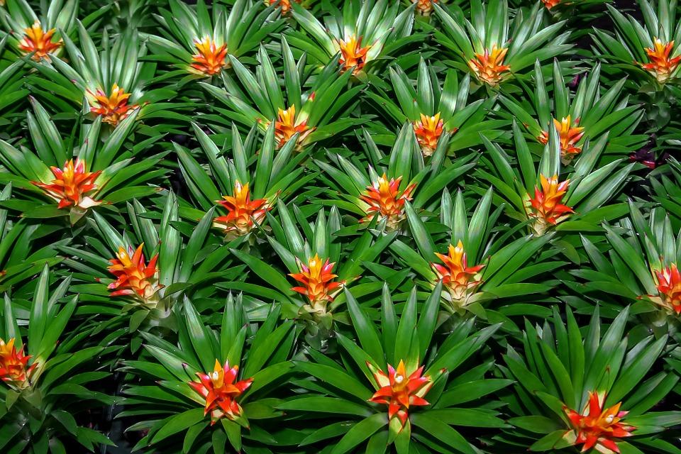 pianta bromelia