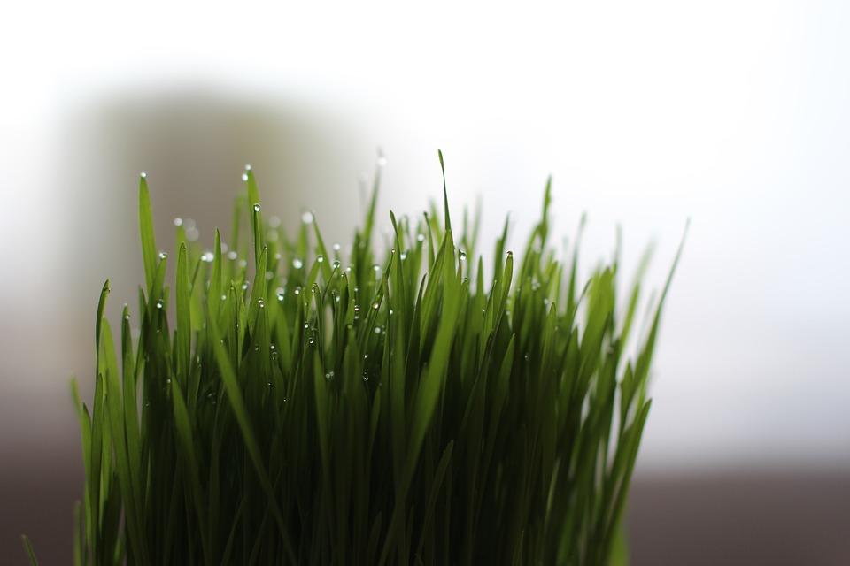 Coltivare erba gatta guida per principianti for Erba gatta effetti