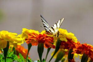 fiori tagete