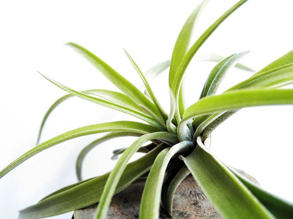 piante d'aria