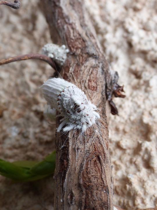 cocciniglia agrumi