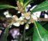 cocciniglia cotonosa rimedi naturali