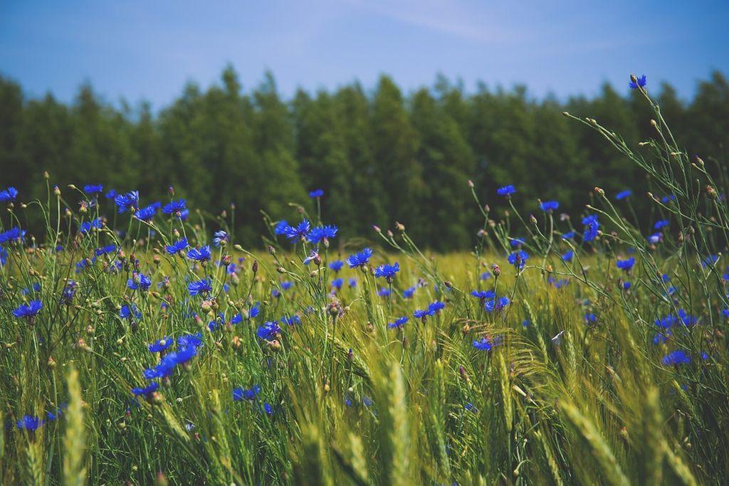 fiordaliso fiore foto