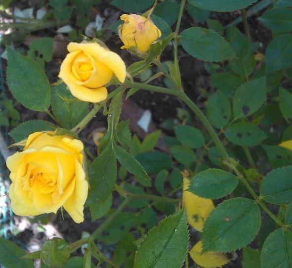 ticchiolatura rose