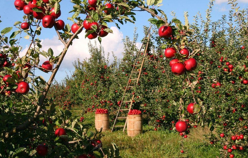 il melo rosso