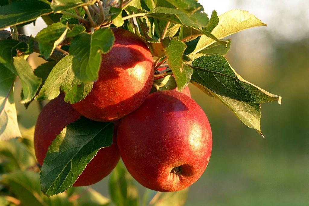 alberi frutto resistenti freddo