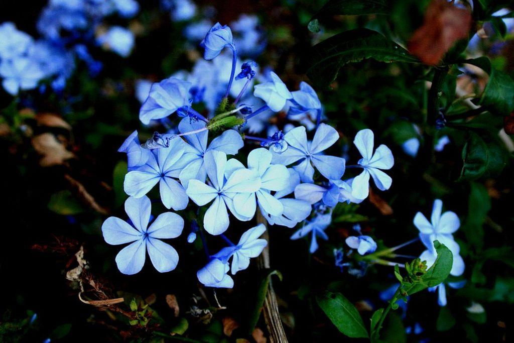 geranium perenne