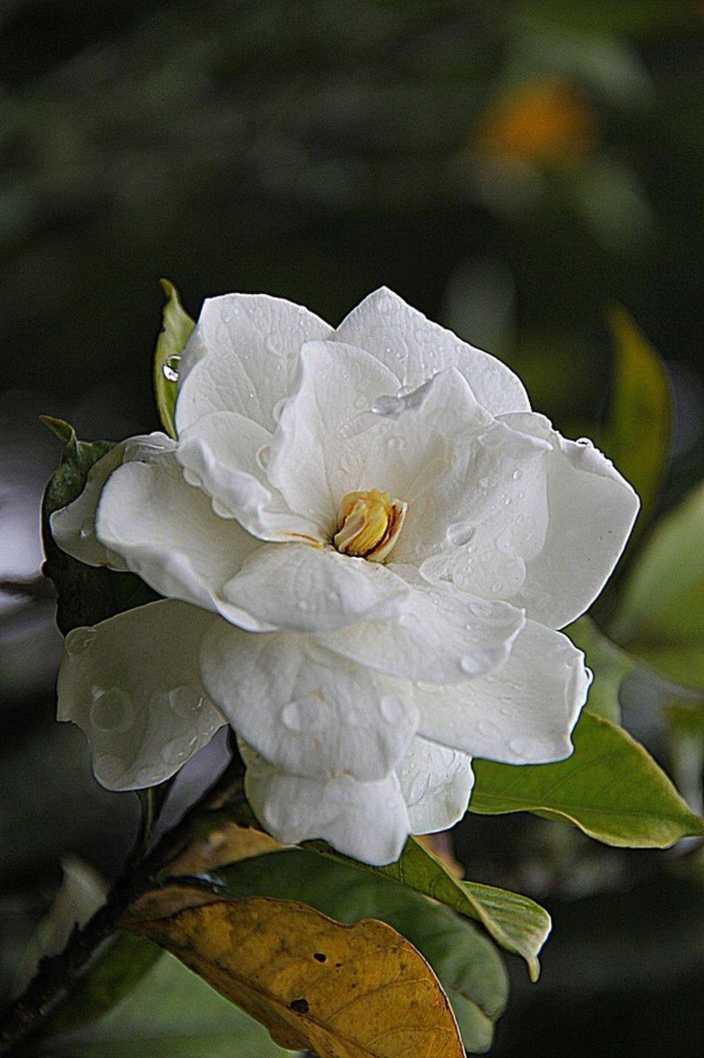 Come coltivare gardenia guida per principianti - Gardenia pianta da giardino ...