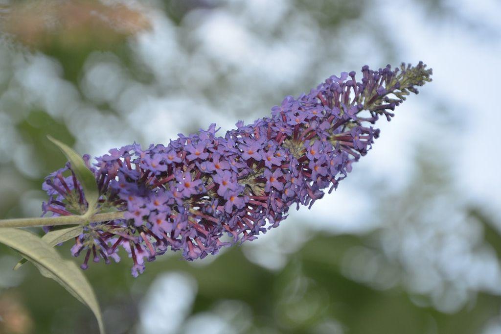 pianta che attira le farfalle