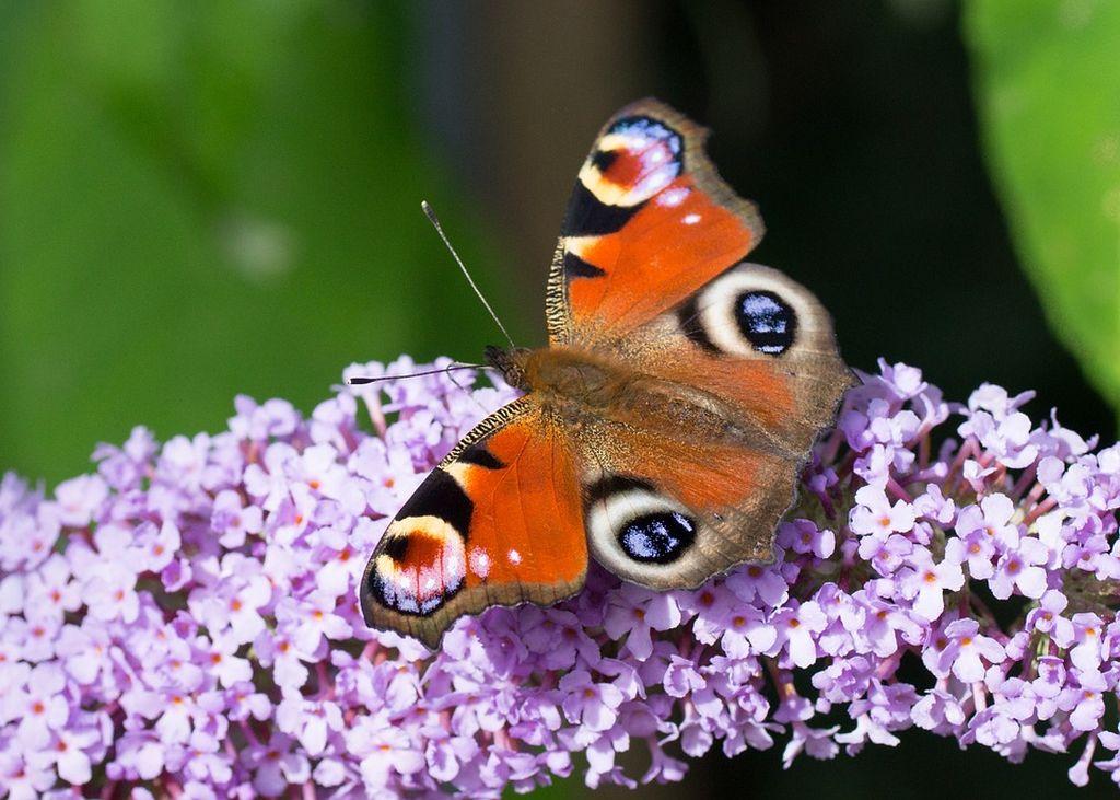fiore farfalla