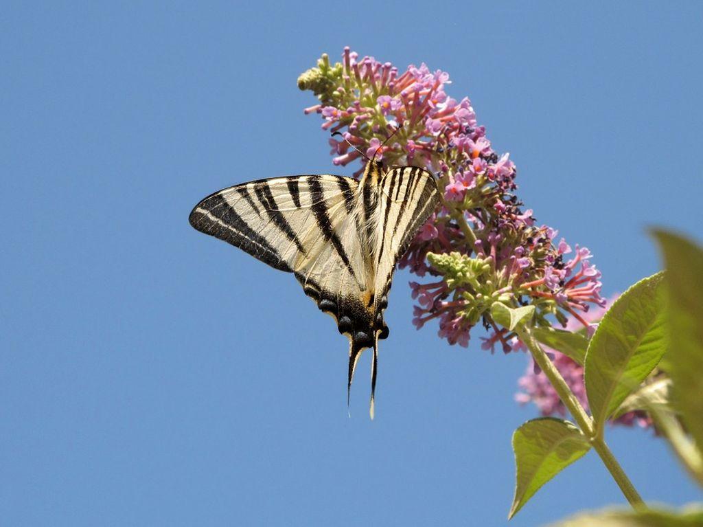 fiori che attirano le farfalle