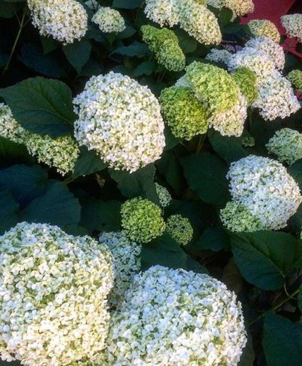 Come Curare Le Ortensie coltivare ortensia: guida per principianti