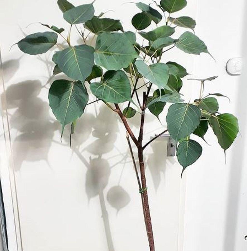 Potare Il Ficus Elastica coltivare ficus: guida per principianti