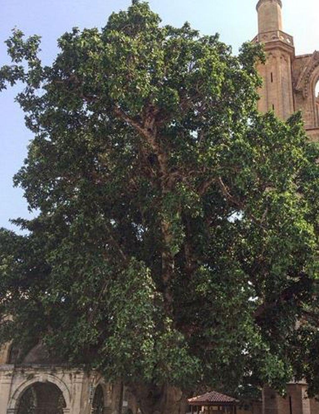 Ficus Benjamin Perde Foglie coltivare ficus: guida per principianti