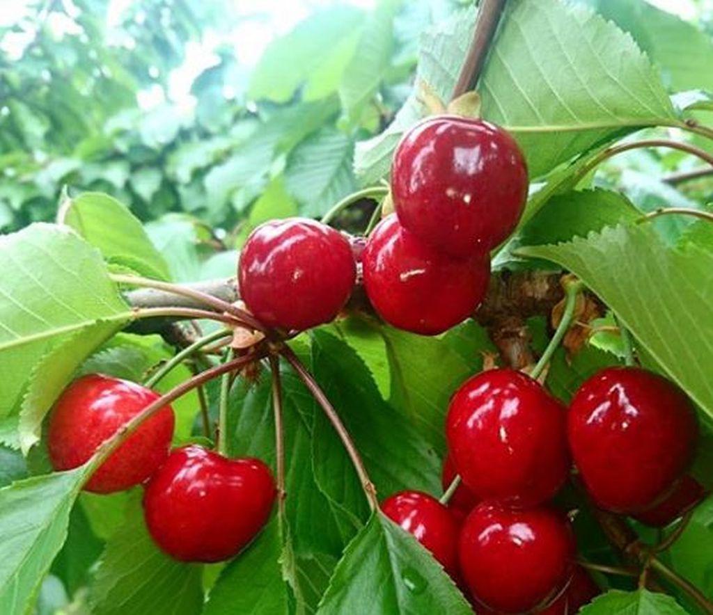 Come Coltivare I Lamponi coltivare ciliegio: guida per principianti