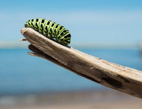 Lepidotteri o nottue: parassiti delle piante