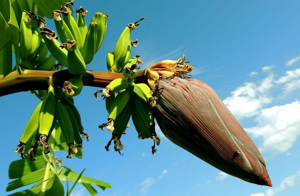 piantagione di banane