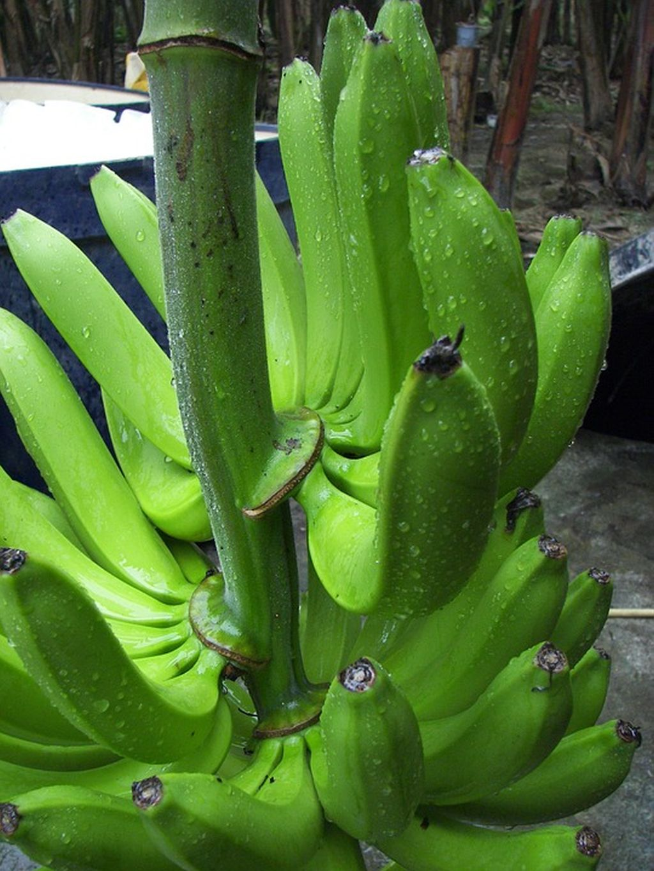 pianta delle banane