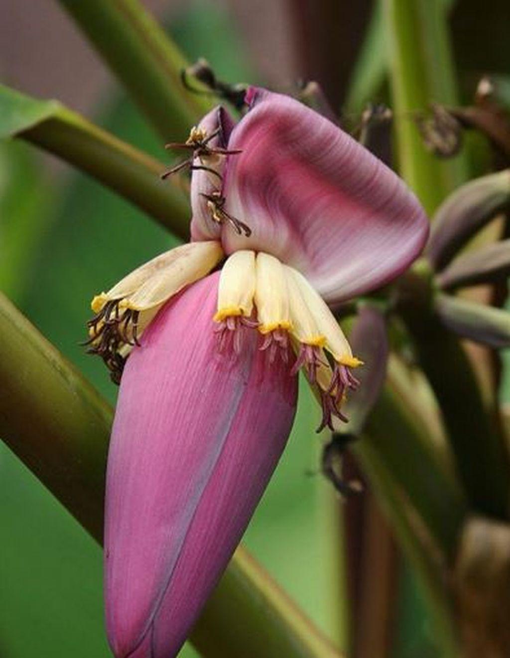 riproduzione banano