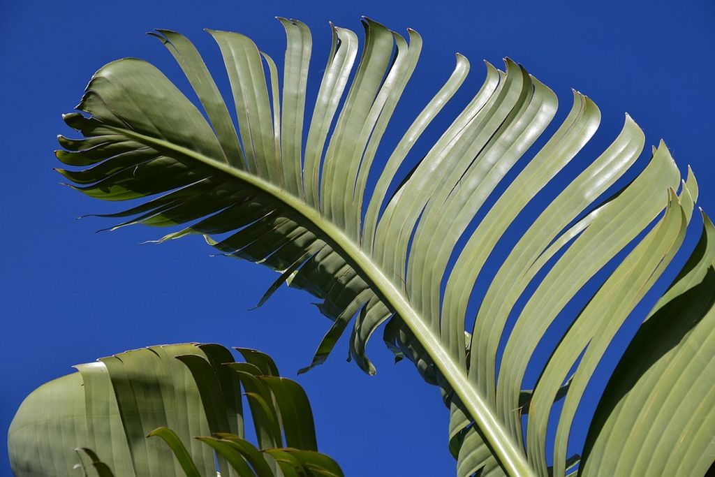 piante banane