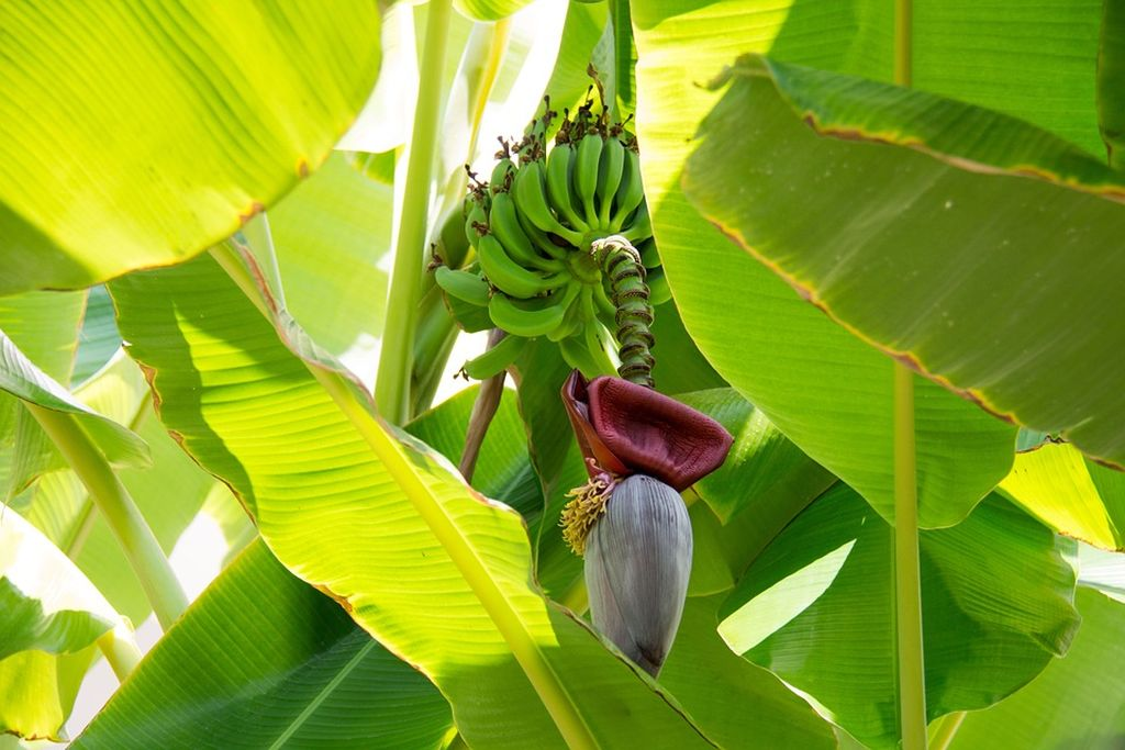 piante di banana