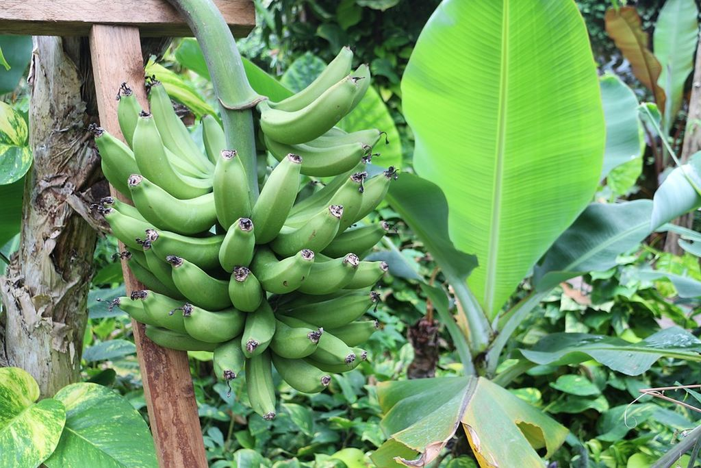 pianta del banano