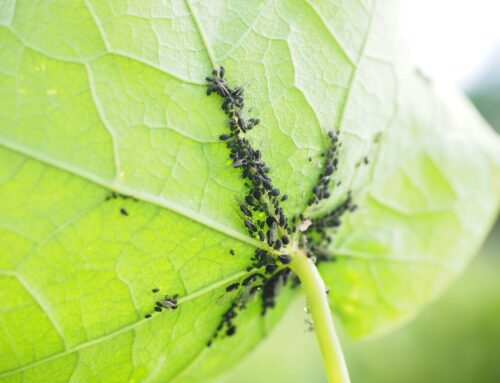 Afidi, come eliminare i pidocchi delle piante
