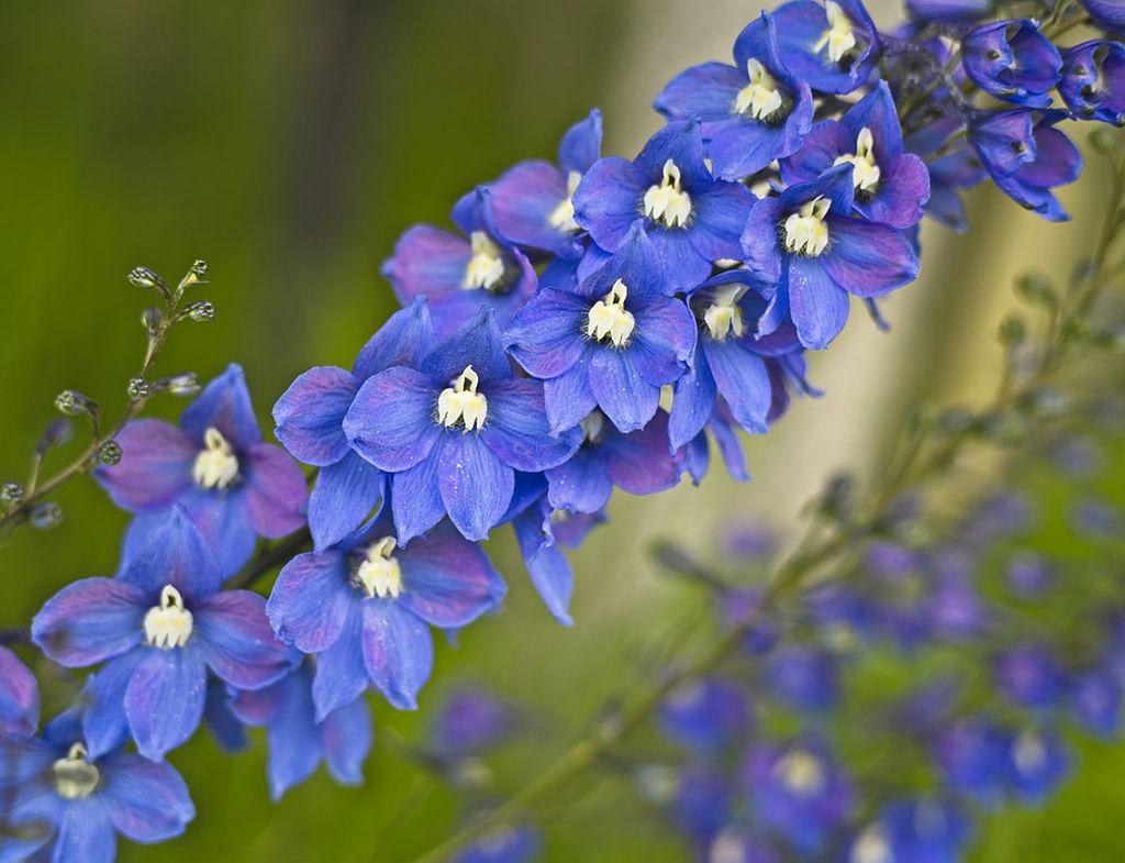 delphinium fiore