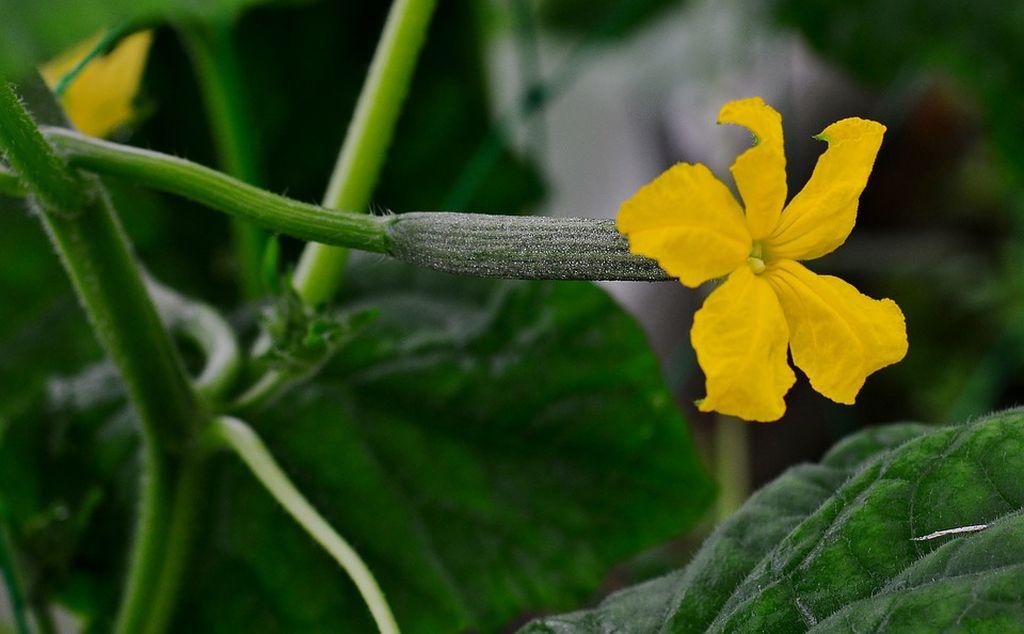 cetriolo pianta