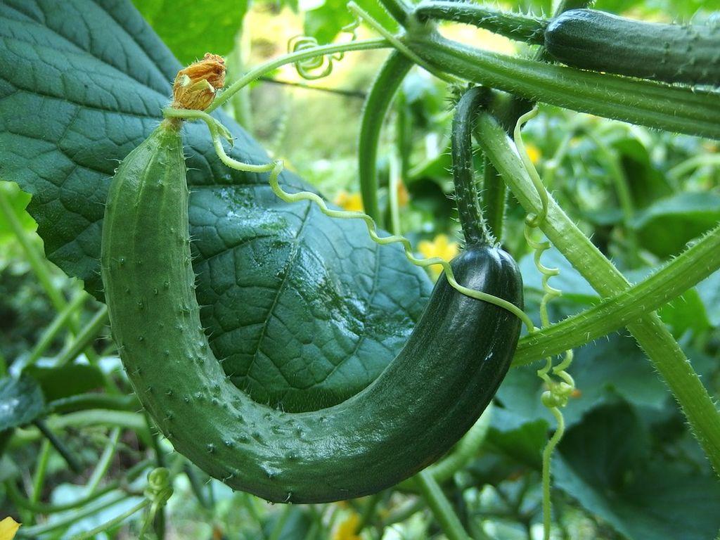 semina cetrioli
