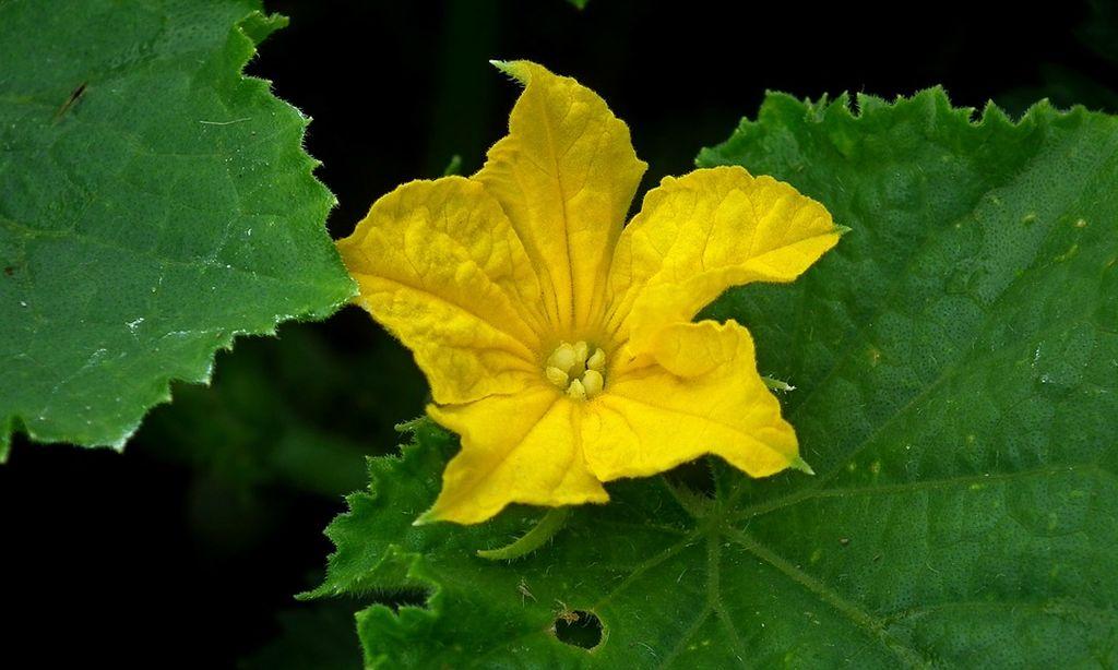 pianta del cetriolo