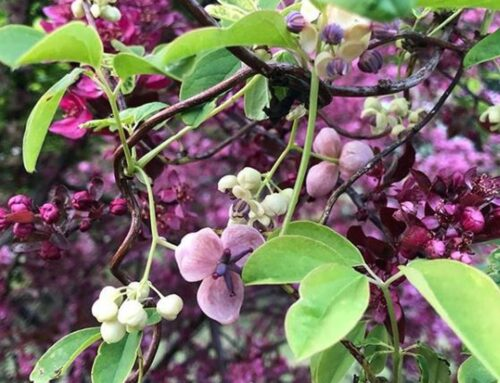Come coltivare akebia quinata