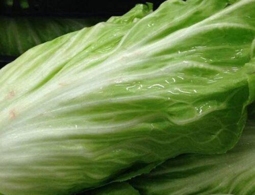 Come coltivare insalata pan di zucchero